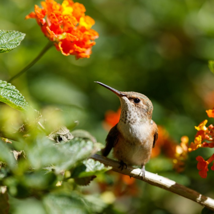 A hummingbird at rest on a branch next to orange flowers