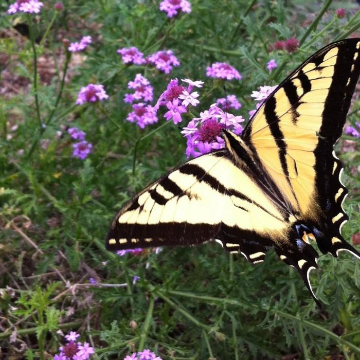 A swallowtail butterfly on purple verbena