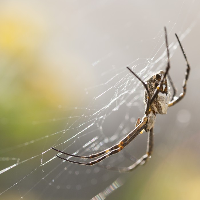 A closeup photograph of a silverback spider on its web