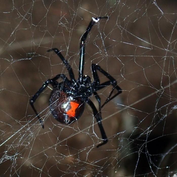 Western Black Widow