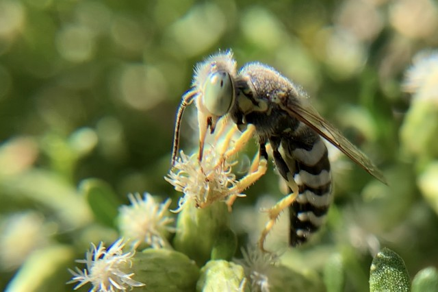 Green-eyed insect with black and white striped abdomen on a baccharis flower.