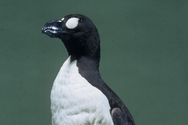 Great Auk in NHM's collections