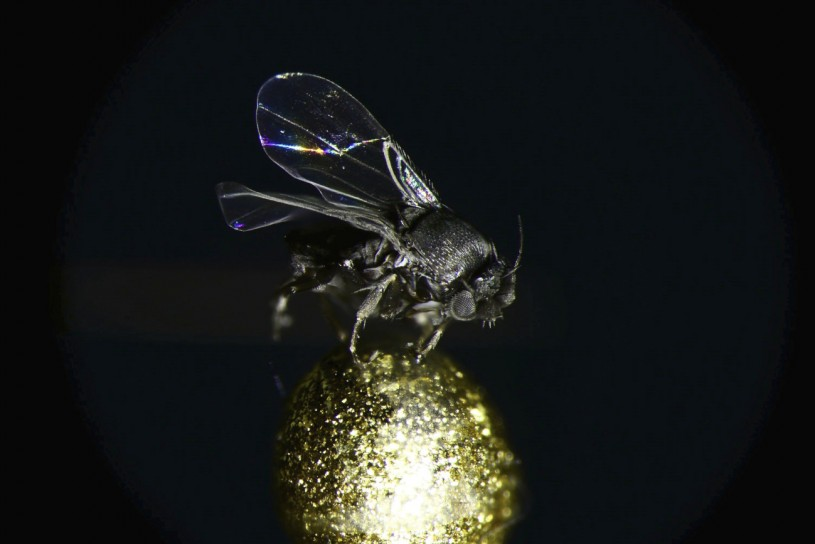 The coffin fly