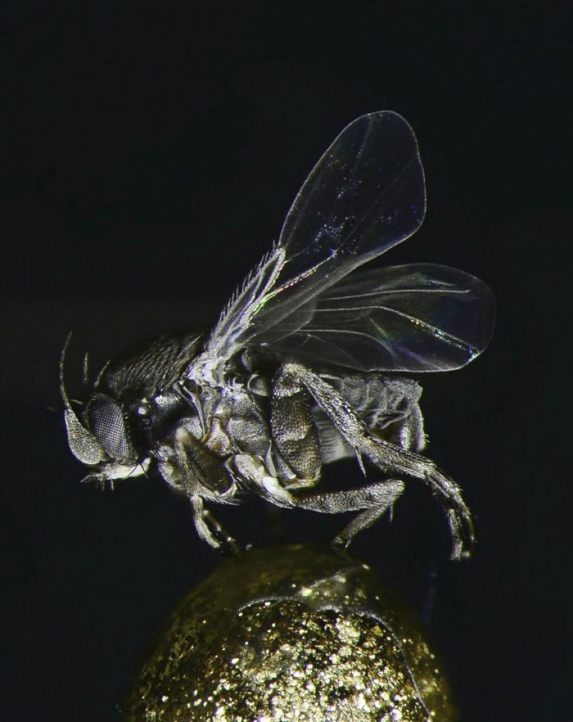 macabre species Conicera tibialis