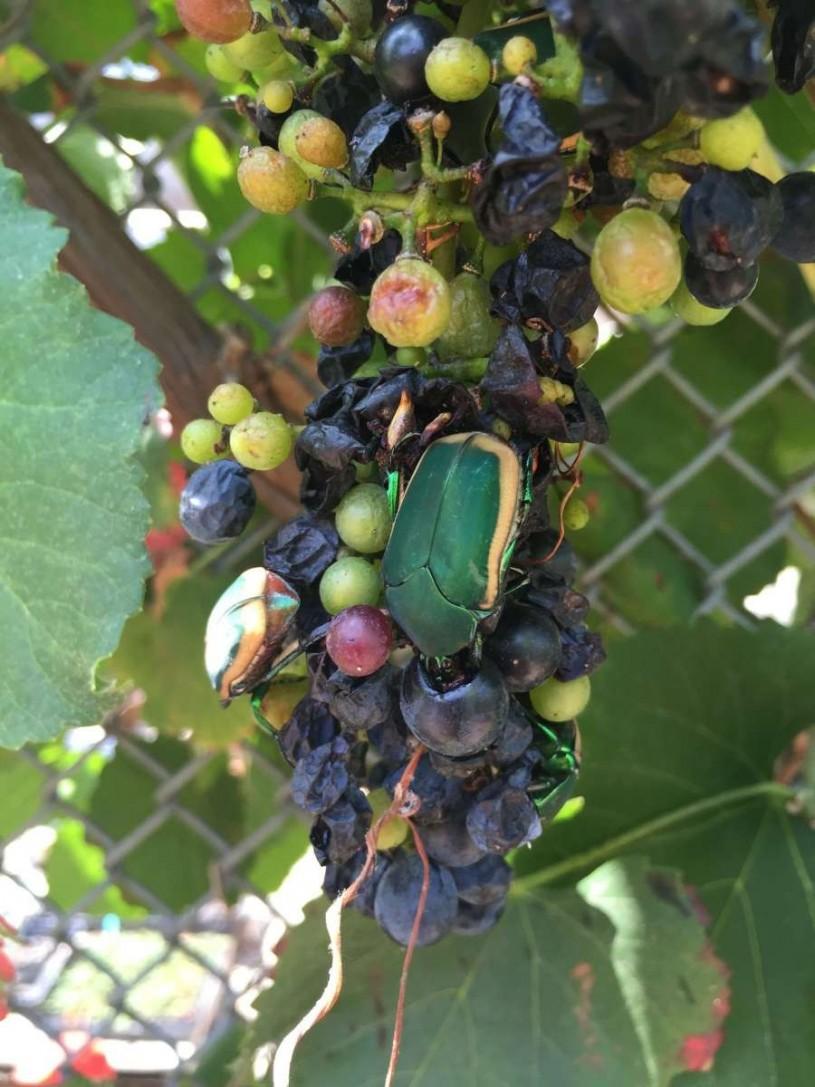 Cotinis Mutabilis eating rotting blueberries