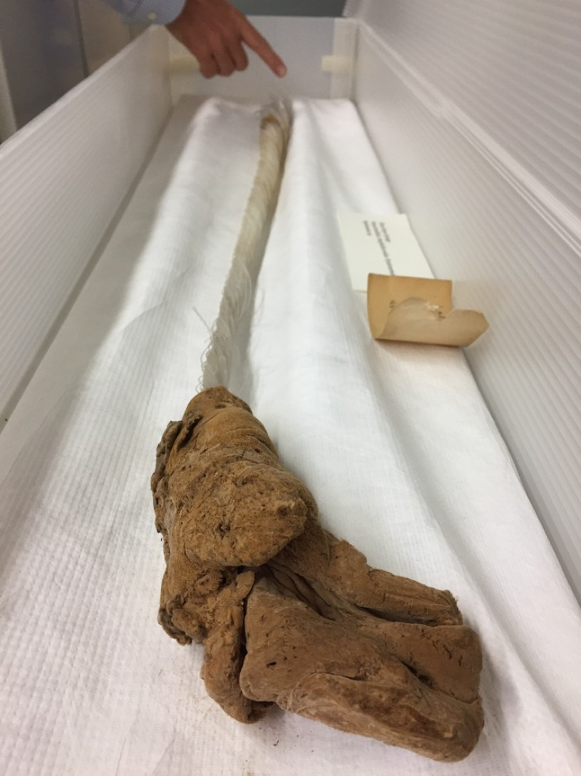 This individual in the Marine Biodiversity Department at NHMLA was collected off La Jolla in 1979, and is a little over three feet long.