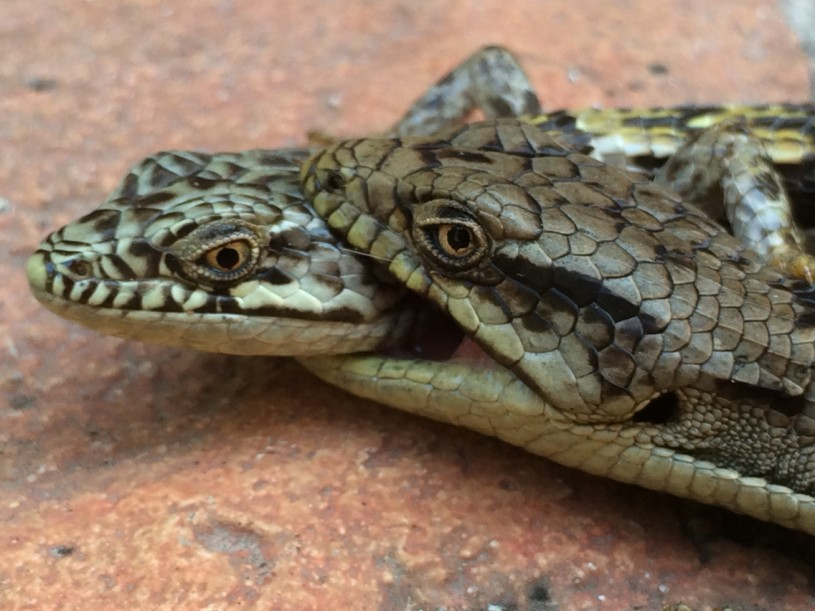 Close-up of a male biting the head of a female.
