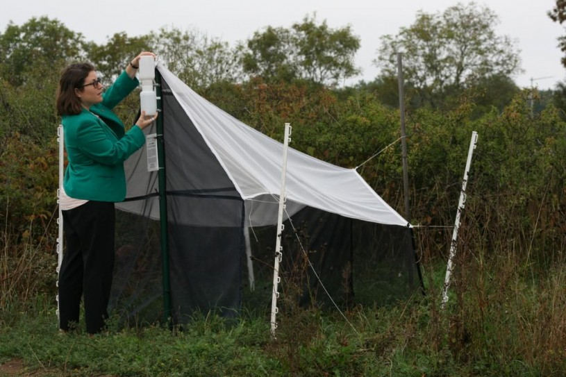 Emily Hartop adjusts the collection bottles on a Malaise Trap that looks like a small white tent