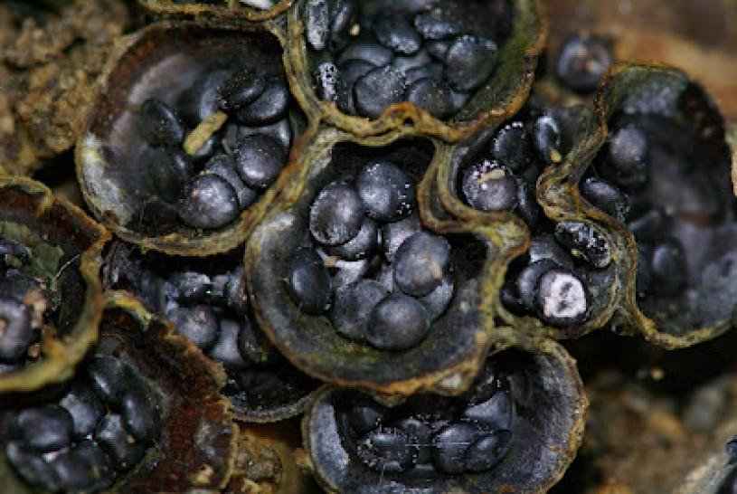Bird's Nest Fungi Periodoles
