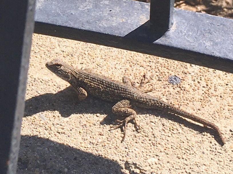Crookshanks the western fence lizard less fab
