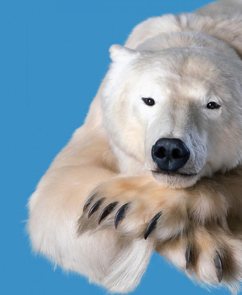 NHM Polar Bear close-up
