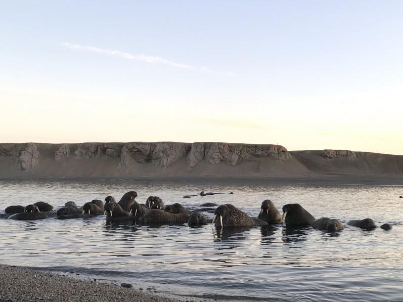 walruses_on_the_beach_c_ilya_murashev