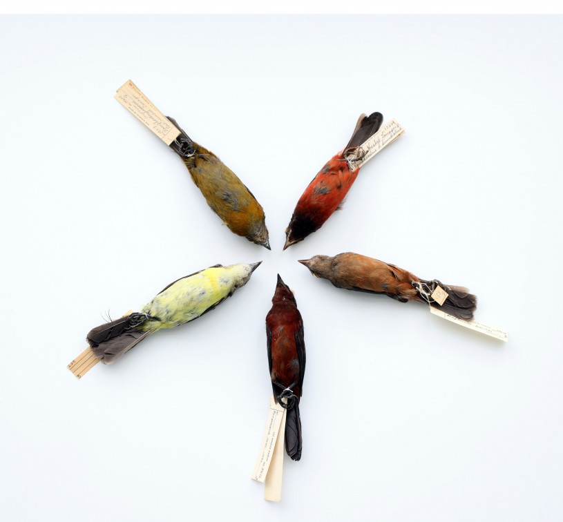 Wheel of Female Tanagers