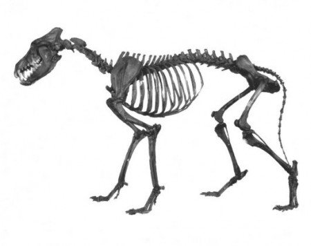 an articulated (arranged like it's alive) skeleton of a dire wolf from the tar pits